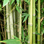 "Medicinal uses of ""Bamboo (बांस)"" in Ayurveda"