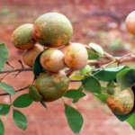 """Bilwa Bell (बिल्व बेल)"" beneficial for multiple diseases"