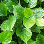 "Benefits and Usage ""Betel (पान)"" in Ayurveda"