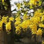 """Cassia (अमलतास)"" useful in throat disease and cough"
