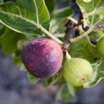 """Fig (अंजीर)"" Advantages and benefits in Ayurveda"
