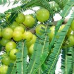"Medicinal uses of ""Gooseberry (Amla)"" in Ayurveda"