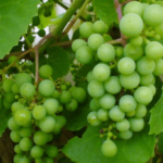 """Grapes (अंगूर)"" beneficial for Heart patients and debilitating disease in Ayurveda"