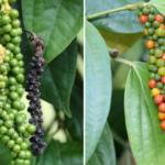 "Multiple uses of ""Black Pepper (काली मिर्च)"" in Ayurveda"
