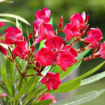 "Medicinal uses of ""Oleander"" ""Kaner"" in Ayurveda"