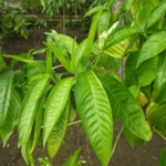 """Malabar nut tree (अडूसा वृक्ष)"" beneficial in Dental disease, Asthma, Hemorrhage"