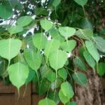 """Ficus Religiosa (पीपल)"" multiple uses in Ayurveda"