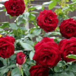 "Medicinal uses of ""Gulab Flower (Rose)"" in Ayurveda"