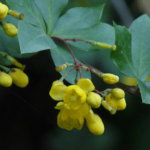 """Indian Barberry (दारू हल्दी)"" properties and advantages in Ayurveda"