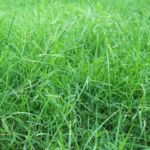 """Grass (दूब)"" beneficial for Blood piles in Ayurveda"