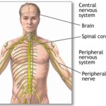 How to make effective Nervous system, heart, and brain function by Home Remedies.