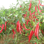 """Red chilly (लाल मिर्च)"" beneficial in Mad dog bites, hurt eyes,  Scorpion bites and more uses in Ayurveda"