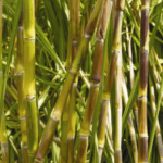 """Sugarcane (गन्ना)"" is beneficial for cough, Calculus, blood disorder"