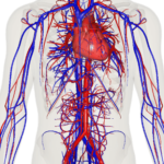 Vascular System, Heart, And Brain Function – Home Remedies