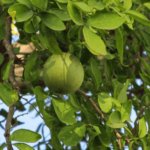 Medicinal uses of Bilva or Aegle Marmelos in Diarrhea, Dysentery, Diabetes and Leucorrhoea