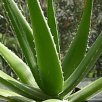 Medicinal use of Aloes in Stomach, Liver, Kidneys, Spleen and Bladder problems