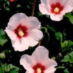 Medicinal uses of Althea in Diarrhea and Dysentery
