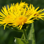 Medicinal uses of Elecampane and Dill