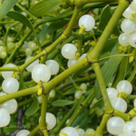 Medicinal use of Mistletoe in Cholera, Hysteria and Epilepsy