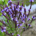 Medicinal use of Vervain in Perspiration, Fever, Asthma