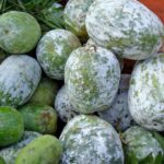 "Medicinal use of ""White Gourd"" Herbal Medicinal Fruit."