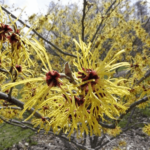 Medicinal use of Witch Hazel in Diarrhea, Nose Bleed, Haemorrhoid