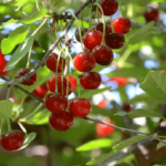 Medicinal use of Wild cherry in TB , Bronchitis , Fever, Coughs, Diarrhea, Blood pressure