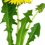 Medicinal use of Dandelion, Coriander, Corn silk and Creeping Jenny