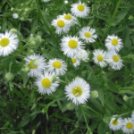Medicinal use of Fleabane, Gentian and Ginseng
