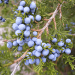 Medicinal use of Juniper and Lady Slipper