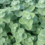 Medicinal use of Marjoram and Milkweed