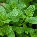 Medicinal use of Spearmint in Colic, Spasm, Dropsy, Hemorrhoids