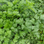 Medicinal use of Parsley in Hepatitis and Fever