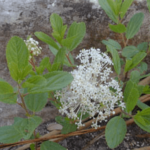 Medicinal use of Red Root in  Hemorrhoids, Spleen and Tonsils