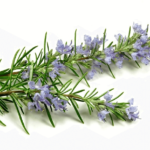 Medicinal use of Rosemary in Cold, Colic, Nervous Ailments