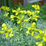 Medicinal use of Rue in Mensuration, Cramp, Nervousness, Hysteria