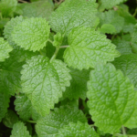 Medicinal use of Sweet Balm in Fever, Cold, Flu, Nausea, Vomiting