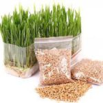 "Medicinal use of ""Wheat Grass"" Herbal Medicinal Plant"