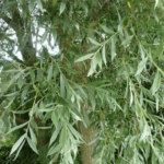 Medicinal use of White Willow in Heartburn, Nose Bleed