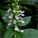Medicinal use of Wood sage in Quinsy, Sore Throat, Colds fevers, Palsy, Kidney, Bladder Ailments