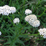 Medicinal use of Yarrow in in Measles, Chickenpox, Smallpox, Hair Fall, Leucorrhoea