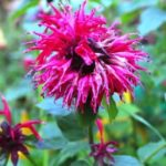 Bergamot herbal plant and its culinary and medicinal properties-History of Herbs