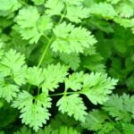 Chervil herbal plant and its culinary and medicinal properties- History of Herbs