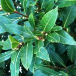 Bay Tree herbal plant and its culinary and medicinal properties-History of Herbs