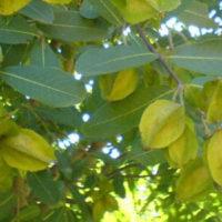 Arjuna Tree Benefits