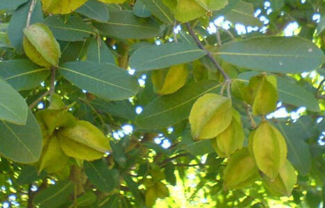 Arjuna Tree Benefits