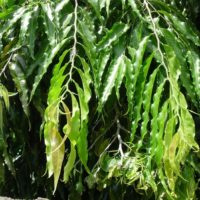 Ashoka Tree Medicinal Benefits
